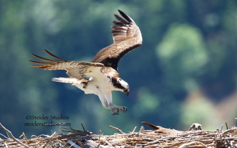 Steider Studios:  Osprey Entering Nest
