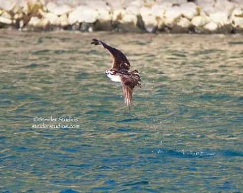 Steider Studios:  Osprey Fishing