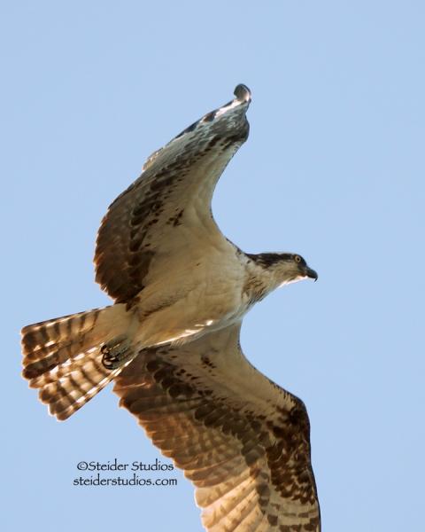 Steider Studios:  Osprey Flying Overhead.6.9.14