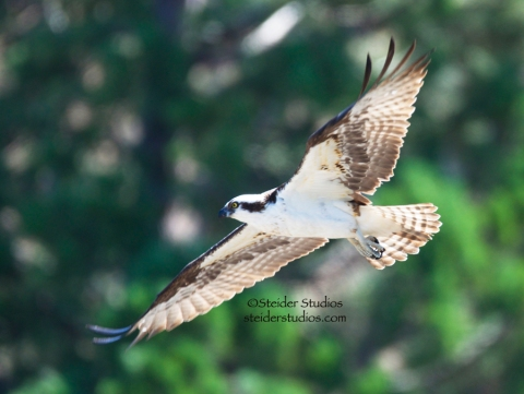 Steider Studios:  Osprey Leaving for Nest Building