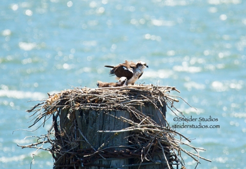 Steider Studios:  Osprey Nest over Columbia River