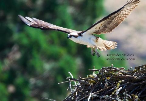 Steider Studios:  Osprey Still Building Nest