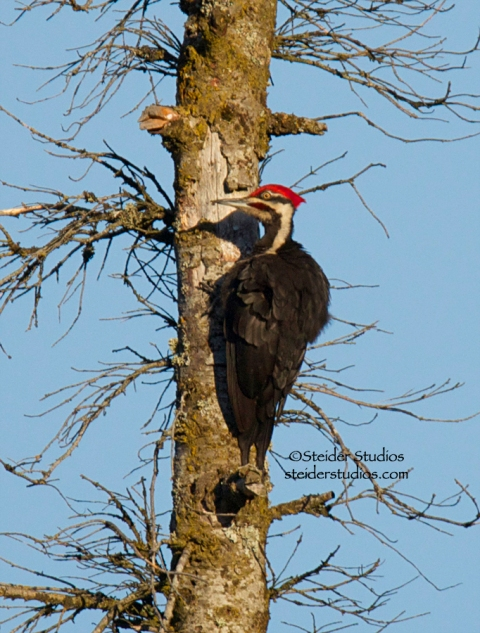Steider Studios.Pileated Woodpecker in Snag.6.21.14
