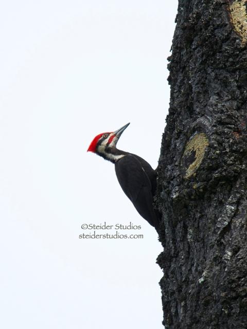 Steider Studios.Pileated Woodpecker on Snag.6.21.14