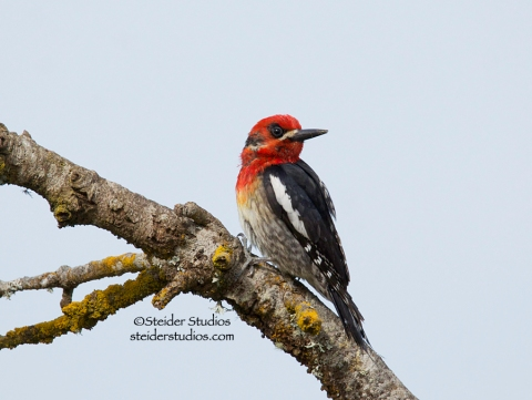 Steider Studios.Red-breasted Sapsucker on Snag.6.21.14
