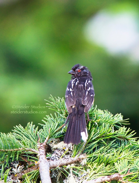 Steider Studios.Rufous Sided Towhee from Back
