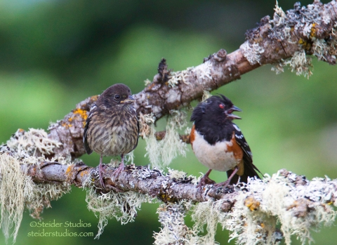 Steider Studios.Rufous Sided Towhee with Baby