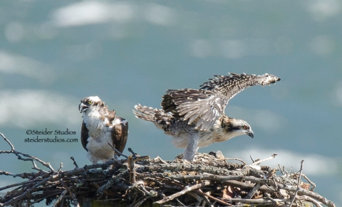 Steider Studios.Baby Osprey Stretching Wings
