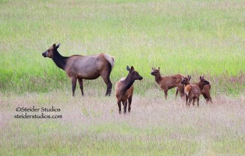 Steider Studios.Elk with Babies
