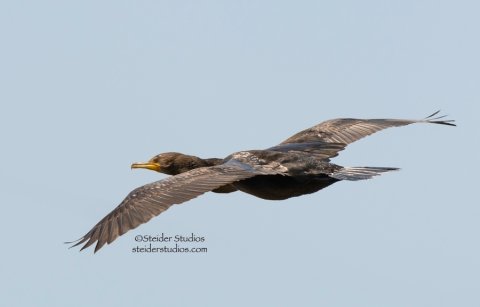 Steider Studios:  Cormorant in Flight 9.7.14
