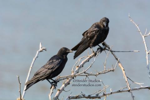 Steider Studios:  Crow Pair, 9.7.14