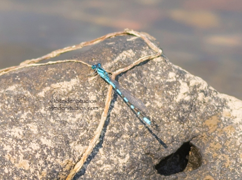 Steider Studios:  Dragonfly.blue on rock.9.7.14_