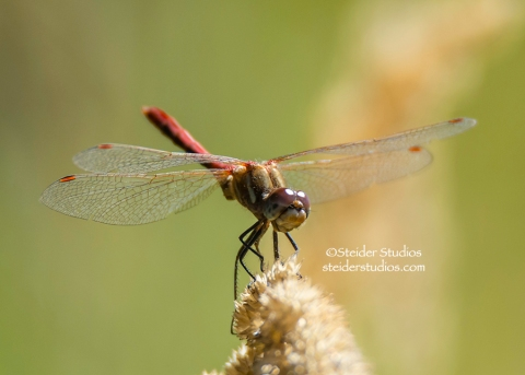 Steider Studios.Dragonfly on Reed Flower