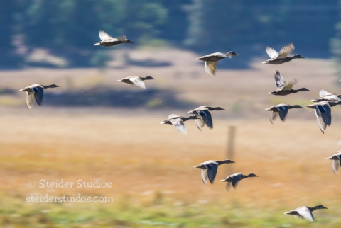 Steider Studios.Flock of ducks.Conboy 9.20.14