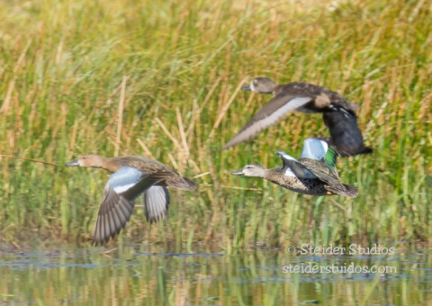 Steider Studios.Green winged teal trio