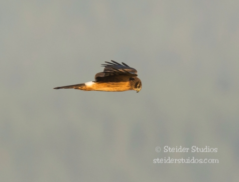 Steider Studios.Northern Harrier in Morning at Conboy.9.20.14