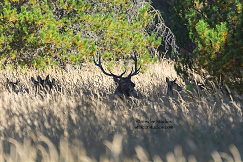 Steider Studios.Herd of Elk at Conboy 9.20.14
