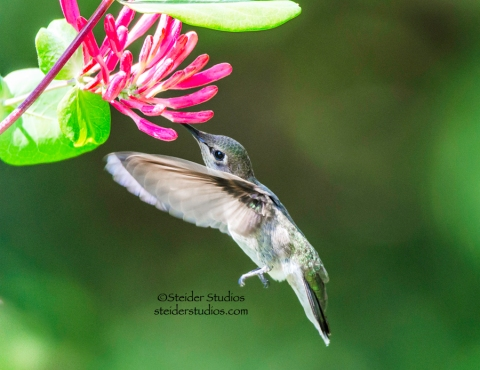 Steider Studios: Hummingbird in Honeysuckle