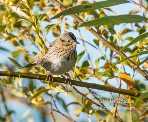 Steider Studios.Lincoln's Sparrow.Morning at Conboy.9.20.14