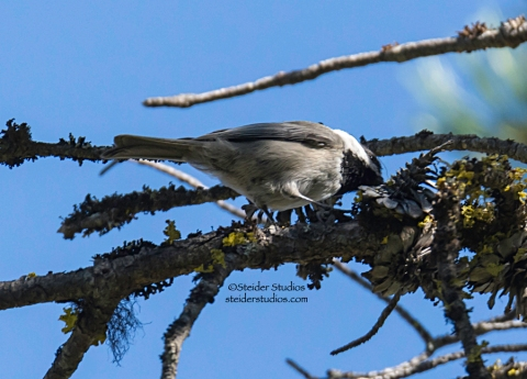 Steider Studios.Mountain Chickadee at Conboy 9.20.14