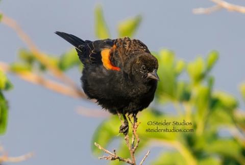 Steider Studios:  Red-winged black bird 9.7.14_