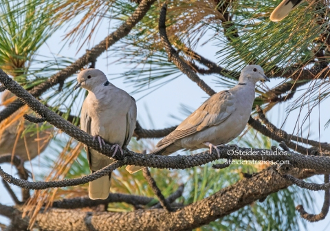 Steider Studios:  Ringed Turtle Dove Pair 9.7.14_