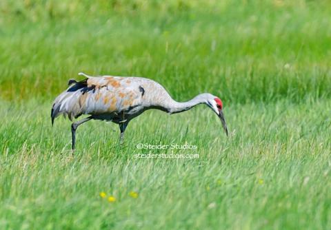 Steider Studios:  Sandhill Crane at Conboy Wildlife Refuge.  8.29.14