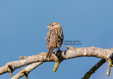 Steider Studios.Sparrow.Rufous-winged at Conboy 9.20.14