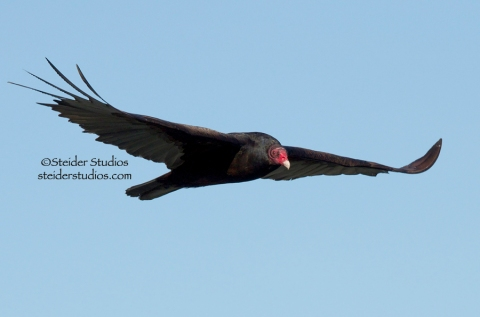 Steider Studios.Vulture in Flight