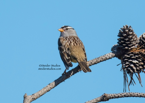Steider Studios.White Crowned Sparrow at Conboy 9.20.14