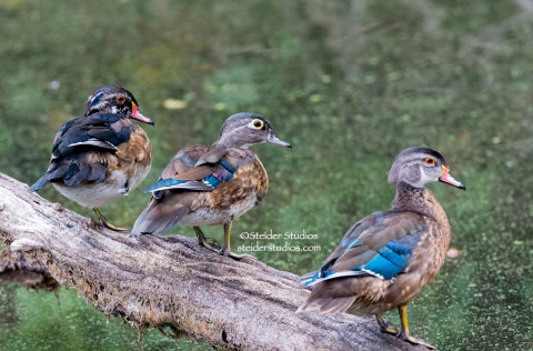 Steider Studios.Wood Duck Trio