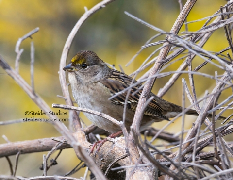 Steider Studios.Golden Crowned Sparrow