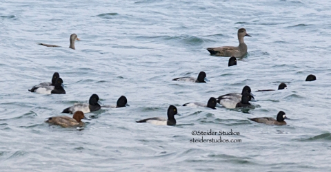 Steider Studios.Raft of Ducks.HR.11.2.14