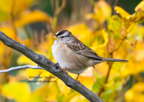 Steider Studios.White Crowned Sparrow.11.2.14