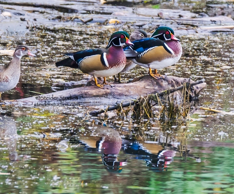 Steider Studios.Wood Ducks.HR Marina.11.2.14