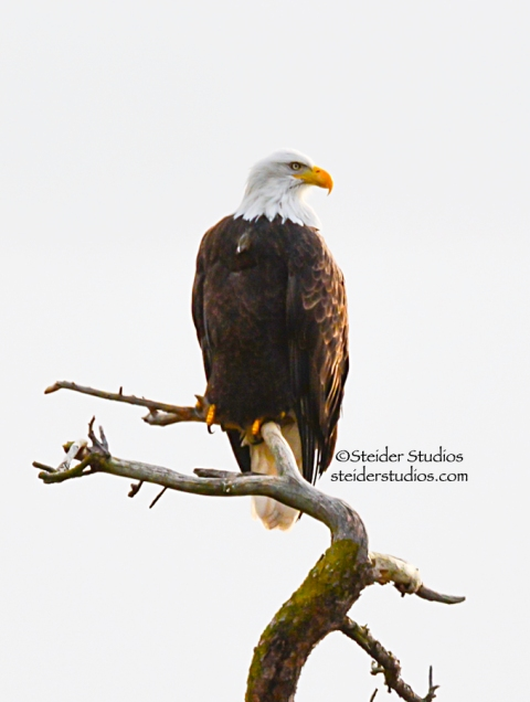 Bald Eagle on a snag along the Columbia River.