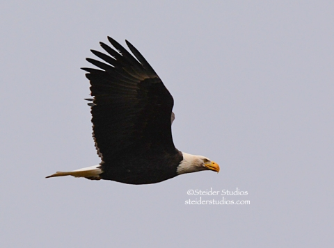 Bald Eagle in Flight at Balfour.