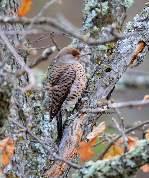 Northern Flicker at Balfour.