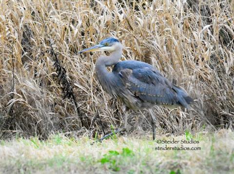 Great Blue Heron at Bingen Marina near the pond.