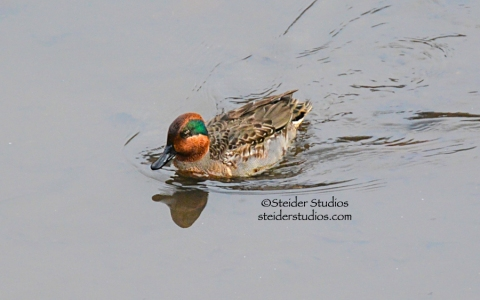 Steider Studios.Green Winged Teal at Balfour