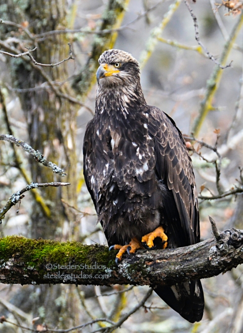 Steider Studios.Juvenile Bald Eagle at Balfour