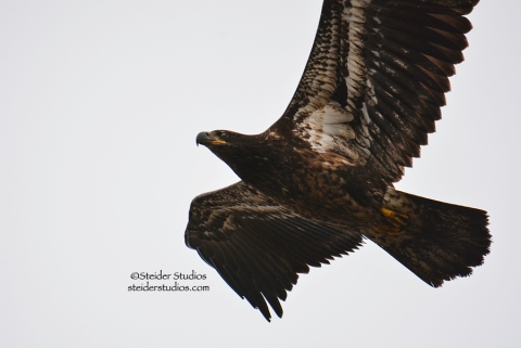 Juvenile Bald Eagle in flight, Lyle Point