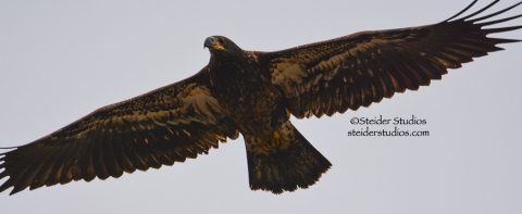 Juvenile Bald Eagle in flight at Lyle Point.