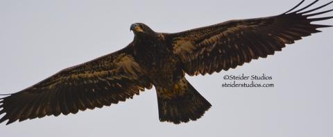 Juvenile Bald Eagle in flight at Lyle Point.