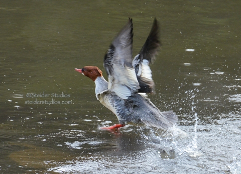 Merganser Taking Off in the Klickitat River.
