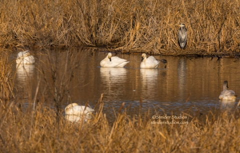 Great Blue Heron photo-bombs Swans at Bingen Pond.