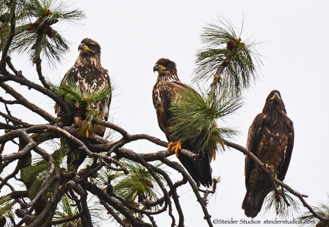 Trio of Juvenile Eagles at Lyle Point.