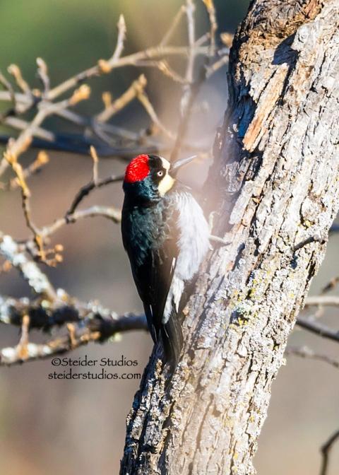 Steider Studios.Acorn Woodpecker.Balfour.1.1.15