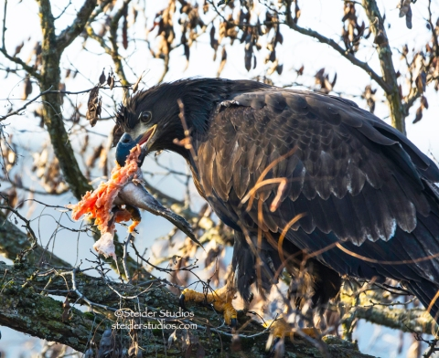 Steider Studios.Juvenile Bald Eagle eating.Lyle Point.1.1.15