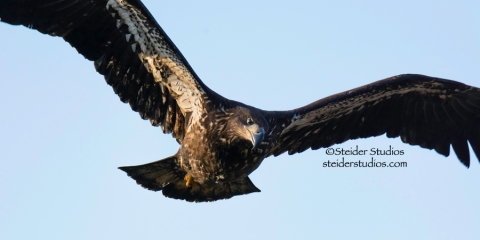 Steider Studios.Juvenile Bald Eagle in flight.Lyle Point.1.1.15